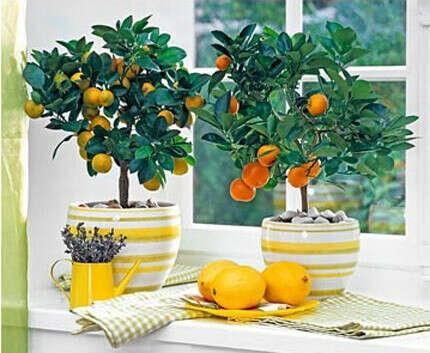 Апельсин или лимон в горшке