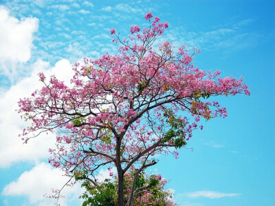 Увидеть цветущую сакуру