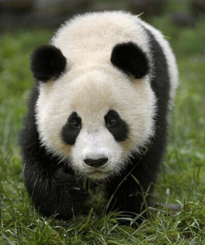хочу быть пандой