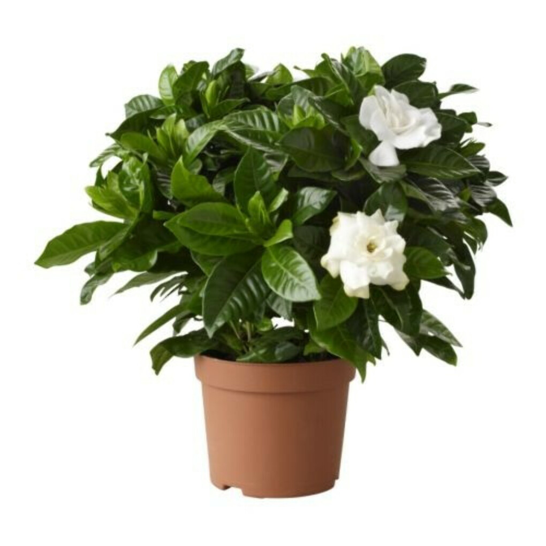 GARDENIA JASMINOIDES Растение в горшке - IKEA
