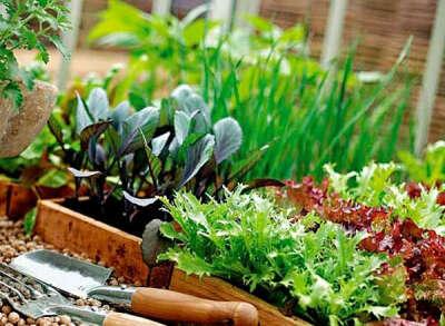 Вырастить пряные травы