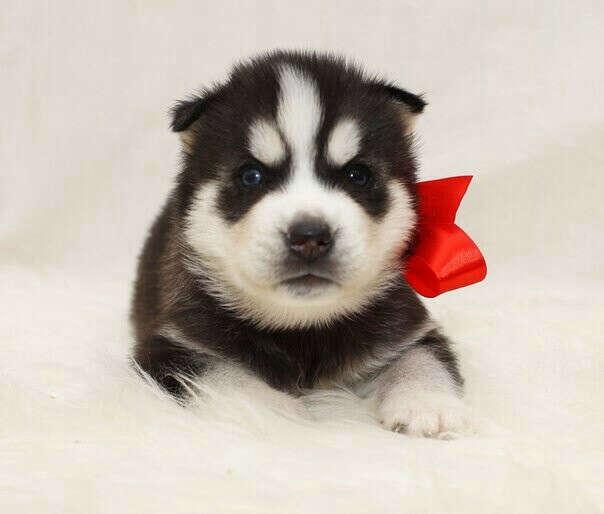 Я очень хочу себе щенка.