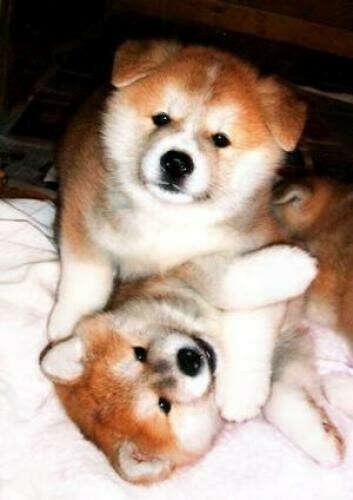 Хочу собаку породы Акита Ину