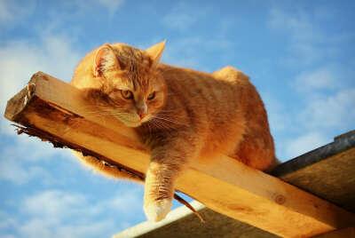 Рыжего кота