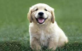Хочу собаку лабрадора)