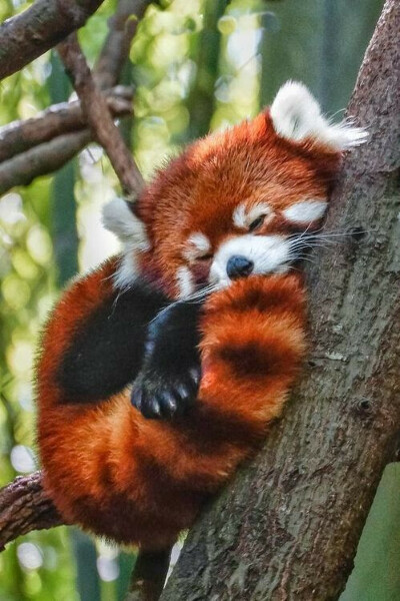 Погладить красную панду