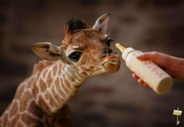 Обнять жирафа