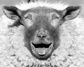 Потрогать овцу