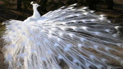 Увидеть белого павлина