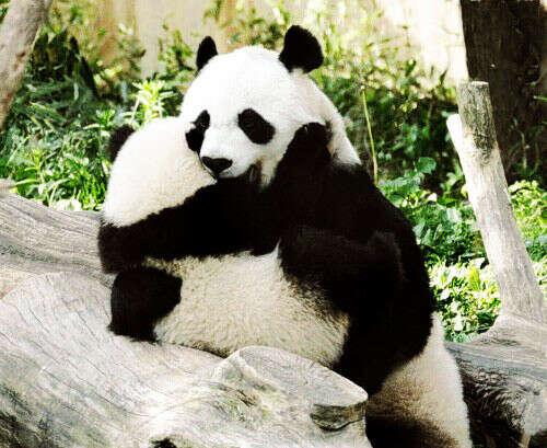 Обнять панду :3