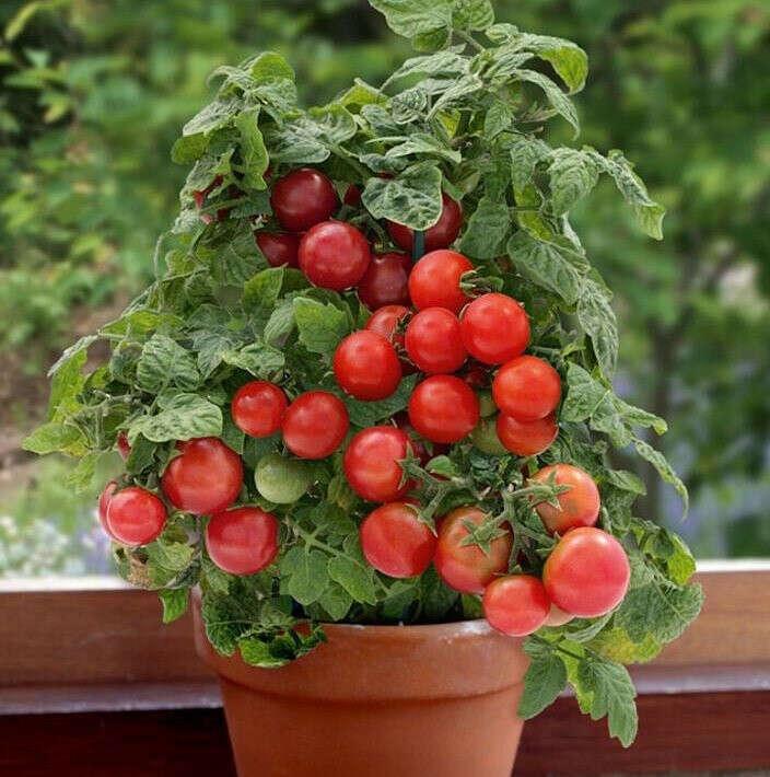 Выращивать помидоры черри