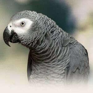 Птенец попугая Жако