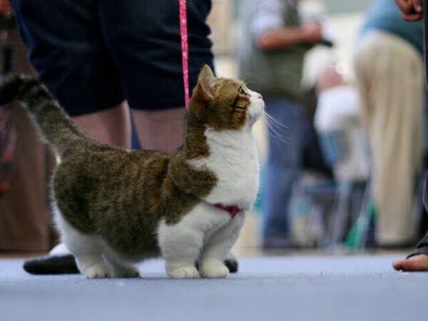 Котёнок породы Манчики