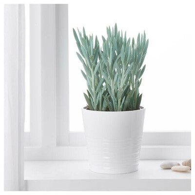 КРЕСТОВНИК ФИКУСОВИДНЫЙ «ЭВЕРЕСТ» Растение в горшке - Крестовник синий - IKEA