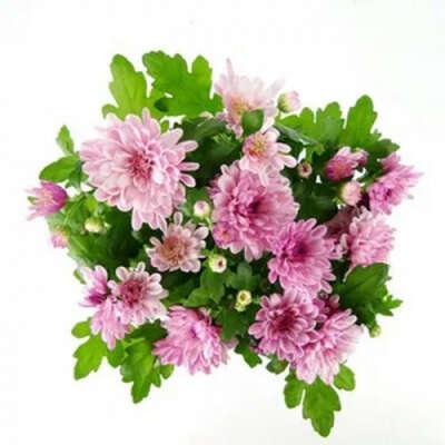 Хризантема махровая розовая