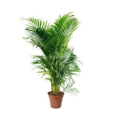 Комнатное растение Арека Хризалидокарпус 21 х 110 см