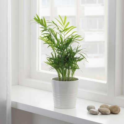 Комнатное растение -- Хамедорея изящная
