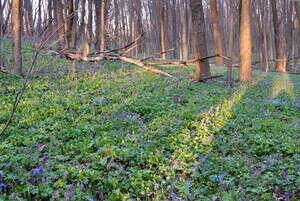 Прогуляться по лесу с подснежниками