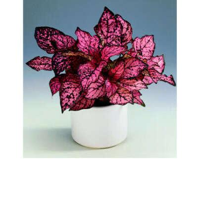Гипоэстес (Hypoestes) красный/розовый