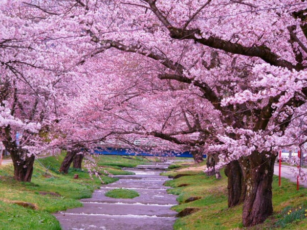 Увидеть цветениe сакуры в Японии