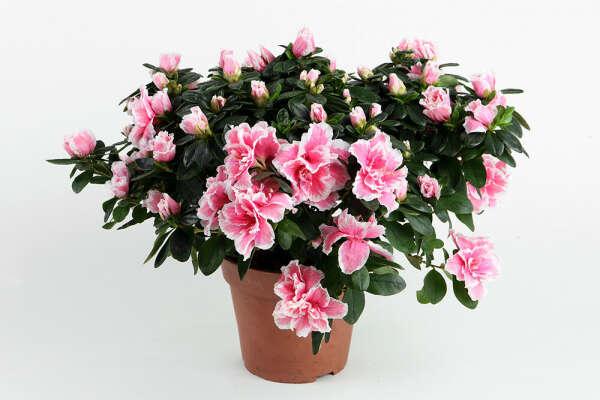 Цветы) в горшках и без