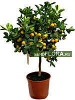 Цитрусовое дерево (и побольше! :) )