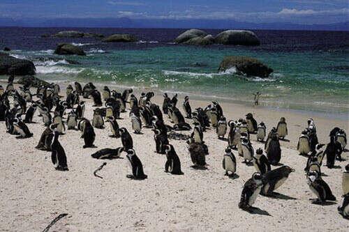 Увидеть пингвинов в ЮАР