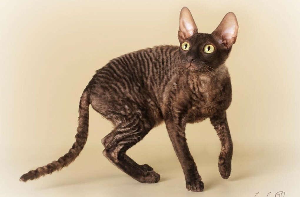 Кот породы корниш-рекс
