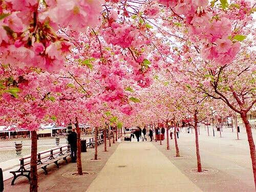 посмотреть на цветение сакуры
