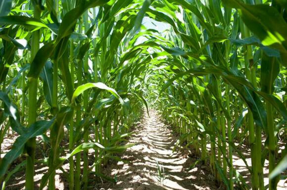 Погулять по кукурузному полю