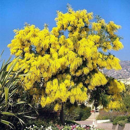 Хочу этой весной нюхать дерево мимозы!