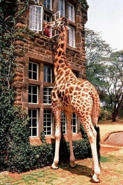 Увидеть настоящего жирафа и погладить его
