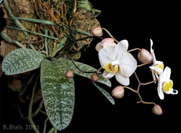 Фаленопсис филиппинский