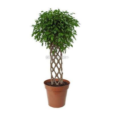 Комнатное растение Фикус Бенджамина Экзотика 24 х 100 см