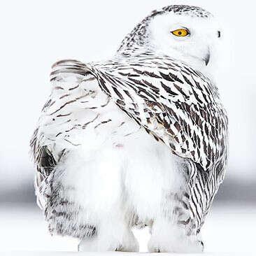Перо из жопы полярной совы