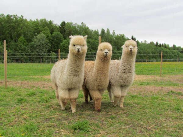 Съездить на ферму альпак