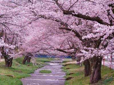 Увидеть цветение Сакуры! ♥