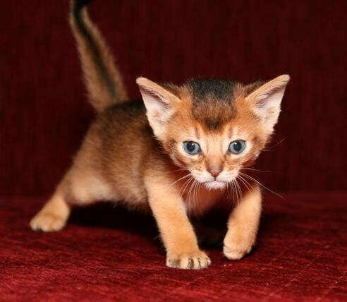 Котенок породы Абиссинец