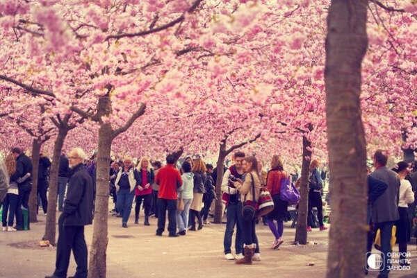 Посетить парк сакуры в Японии