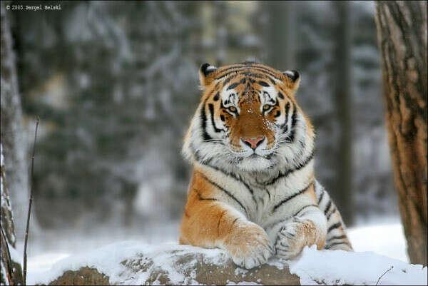 """Усыновить"" амурского тигра"