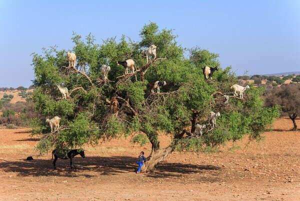 Увидеть коз на дереве в Марокко