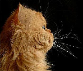 Рыжую персидскую кошку