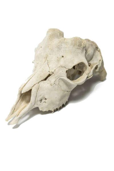 Черепа, зубы и кости некрупных животных
