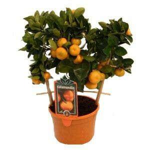 Цитрусовое, мандариновое, апельсиновое дерево
