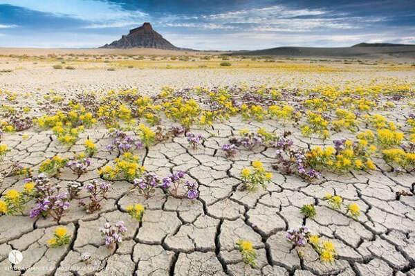 увидеть цветущую пустыню в США!