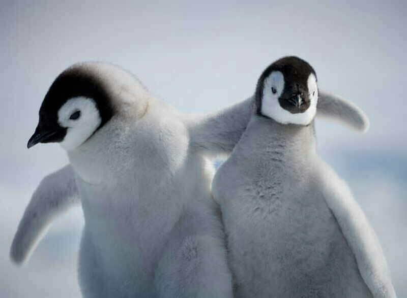 Погладить пингвина