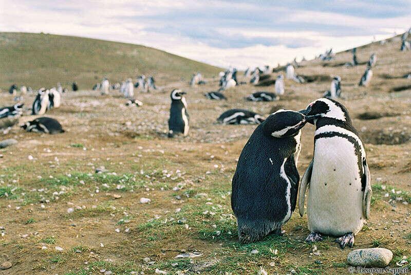 Увидеть пингвинов вживую (в естественных условиях)