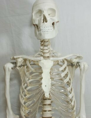 Анатомическая модель человеческого скелета в полный рост