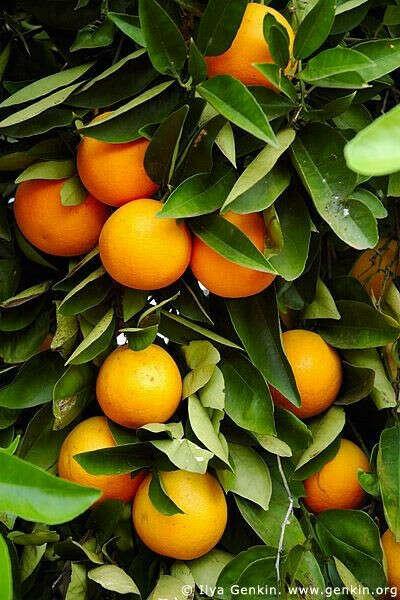 сорвать апельсин/мандарин прямо с дерева! :3