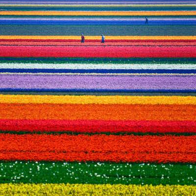Побывать на тюльпановых полях в Голландии